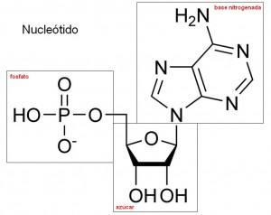 nucleotido