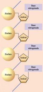 nucleotidos_y_acidos_nucleicos02